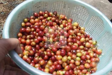 Kinh nghiệm và nghiên cứu nuôi chồn hương để sản xuất cà phê chồn