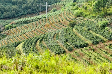 Các dòng cà phê Arabica chất lượng cao ở Việt Nam