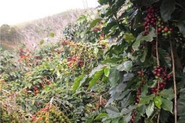 Các dòng cà phê Robusta chất lượng cao ở Việt Nam