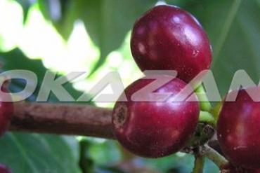 Các giống cà phê ngon trên thế giới